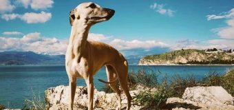 Αχαΐα: Αγωνία για τη Δάφνα – Δίνεται αμοιβή σε όποιον βρει το σκυλάκι που χάθηκε – ΦΩΤΟ